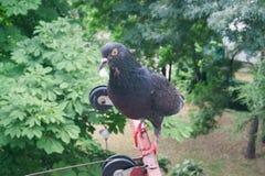 鸽子-背景 免版税库存图片