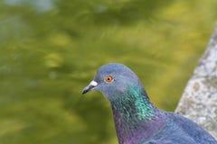 鸽子画象特写镜头,街道潜水与橙色眼睛& x28; Columba利维亚domestica& x29; 免版税库存图片