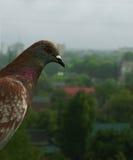 鸽子从雨掩藏 免版税库存照片