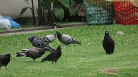 鸽子 免版税库存图片