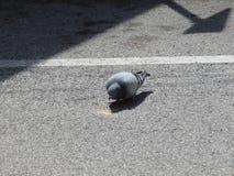 鸽子2 免版税库存照片