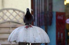鸽子2 库存图片