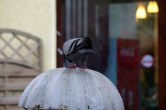 鸽子2 免版税库存图片