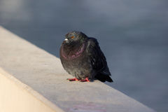 鸽子 免版税图库摄影