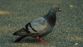 鸽子III 免版税图库摄影