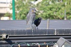 黑鹂和鸟诱饵 免版税库存照片