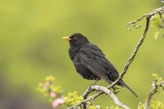 黑鹂唱歌在树的画眉类merula 免版税库存图片