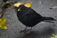 黑鹂在城市 库存照片