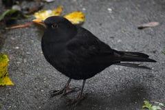 黑鹂在城市 库存图片