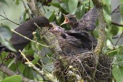 黑鹂巢16 库存照片
