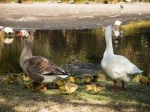 鹅与走在湖附近的一束的` s家庭他们的婴孩在百年公园,悉尼,澳大利亚 免版税库存图片