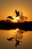 鹅反映河岸土地所有者 免版税库存图片