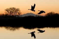 鹅反映河岸土地所有者 免版税库存照片