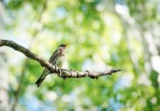 鹅口疮坐一个桦树分支在森林里 免版税图库摄影