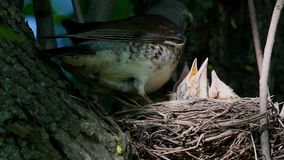 鹅口疮坐在巢等待的哺养的田鸫刚孵出的雏 影视素材