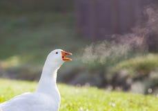 鹅呼吸 库存图片