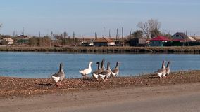 鹅和天鹅在村庄池塘 影视素材