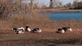 鹅和天鹅在村庄池塘 股票视频