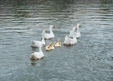 鹅和小幼鹅游泳在池塘的小组 库存图片