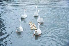 鹅和小的幼鹅游泳在池塘的小组 图库摄影
