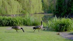 鹅和幼鹅吃草在池塘的岸的草 股票录像