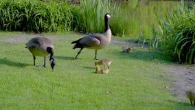 鹅和幼鹅吃草在池塘的岸的草 股票视频