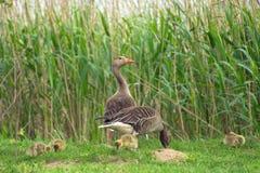 鹅和幼鹅在草 库存照片