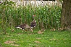 鹅和幼鹅在草 库存图片