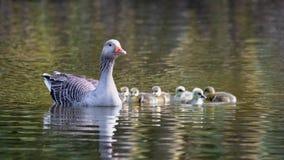 鹅和幼鹅 免版税库存图片