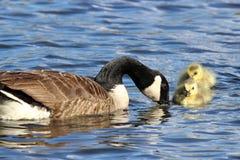 鹅和幼鹅 免版税库存照片