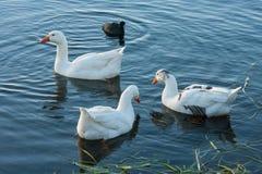 鹅和老傻瓜湖表面上 库存图片