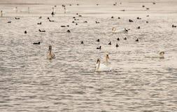 鹅和鸭子在大盐湖在波摩莱,保加利亚 库存照片