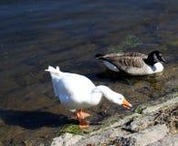 鹅和鸭子在Burrator湖 库存图片