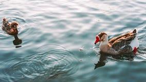 鹅和鸭子游泳在湖 免版税图库摄影