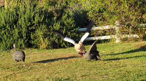 鹅和guineafowls 免版税库存照片
