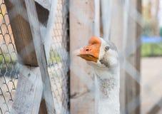 鹅在一只笼子锁了在公园 免版税库存照片