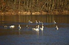 鹅在冬天 免版税图库摄影