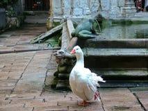 鹅在大教堂的庭院里在巴塞罗那 库存图片