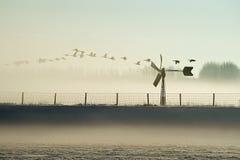 鹅在早晨有雾的开拓地 免版税库存照片