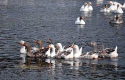 鹅在罗马尼亚 免版税库存照片