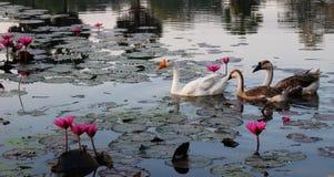 鹅在莲花中的池塘游泳 水表面用莲花叶子报道 库存图片