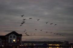 鹅在飞行中在黄昏 库存照片