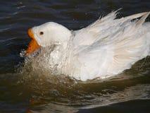鹅在水中 免版税库存图片