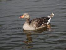 鹅在水中 免版税图库摄影