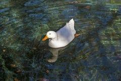 鹅在绿色水06中 库存图片