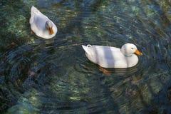 鹅在绿色水03中 库存图片