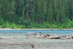 鹅在Avalanche湖 免版税库存图片