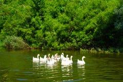 鹅在Skadar湖 免版税库存照片