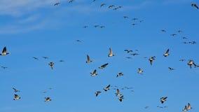 鹅大群在飞行中在清楚的蓝天-黑雁canadensis 库存图片