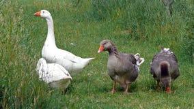鹅夫妇在草甸的 免版税库存图片
